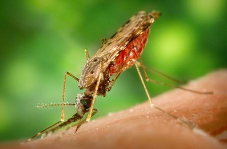 Anopheles albimanus (Malaria) mosquito