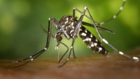 Europe under threat by tiger mosquito